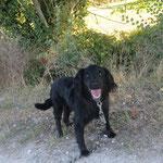 Bella  croisée épagneul   adoptée en Septembre 2018  stérilisée