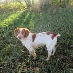 Plume  épagneul breton  adoptée en Janvier 2019  stérilisée