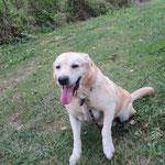 Irmo labrador adopté en septembre 2016