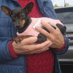 Mouny pinscher  adoptée en Novembre 2018  stérilisée