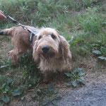 Gudule basset griffon  adopté en Aout 2018  castré
