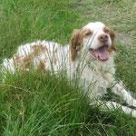 Iris épagneul breton  adopté  en Juin 2018  castré