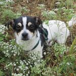 Orki  croisé  chiwawa  adopté en Juillet 2019