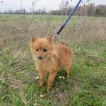 Gody croisée sptiz adoptée en Février 2018