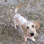 Juju croisée teckel/griffon adoptée en septembre 2016