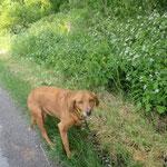 Ellipse croisée épagneul/labrador  adoptée en Mai 2018  stérilisée