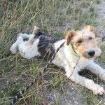 Hadock fox terrier  adopté en septembre 2019  castré