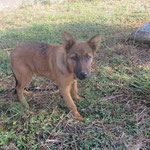 Olwen chiot croisé berger adopté en Octobre 2018