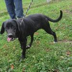 Laya croisée labrador  adoptée en novembre 2016