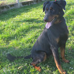 Mulane  chienne beauceron  adoptée en Mars 2019   stérilisée