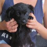 Owen  chiot 2 mois  adopté en Juin 2018
