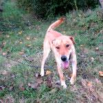 Larry croisé labrador sable adopté en octobre 2016
