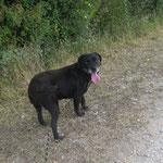 Iona croisée labrador  adoptée en Novembre 2018