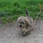 Mizi  (3 mois) croisée bichon/teckel adoptée en Mars 2017