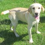 Nata 5/6 mois chienne labrador sable adoptée en Septembre 2017