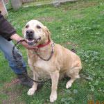 Gibsy labrador  adopté en novembre 2016