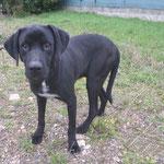 Max croisé labrador adopté en Février 2019   castré