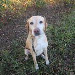Etoile  croisée labrador adoptée en décembre 2017  stérilisée