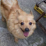 Hola croisée spitz  adoptée en Janvier 2018