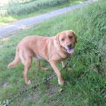 Gaspard labrador adopté en mai 2017 castré