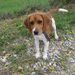 Maxou croisé beagle adopté en novembre 2016