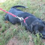 Polo  chiot 4 mois  adopté en septembre 2019