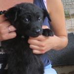Olfi  chiot 2 mois  adopté en Juin 2018