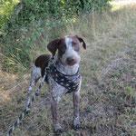 Max braque allemand  adoptée en  Aout 2019 castré
