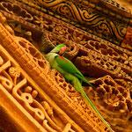 Jaipur, Indien: Grüner Papagei