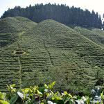 Darjeeling, Indien: Teegarten