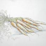 Gemüsemusik 2 - Bleistiftzeichnung laviert - 0,40 x 0,30, m. R. 0,60 x 0,50