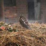 Im Winter war dieser Raubvogel bei uns.