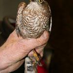 Er hatte sich in unseren Hühnerstall verirrt als er einen Spatz fangen wollte - wir haben Ihn natürlich wieder frei gelassen.