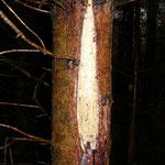 Frische Schälschäden durch Rotwild. Die verletzten Stellen sind z.B. Eingangsstellen für schädigende Pilze.
