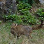 Wildkatze im Gelände (hier ein hellerer Typ)