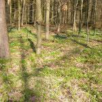 Waldfläche mit Buschwindröschen