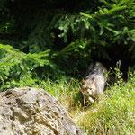 Wildkatze beim gespannten Anschleichen