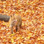 Der Fuchs ist in der Natur meist sehr scheu.