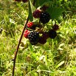 Brombeere, Frucht