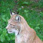 Der Luchs ist das Wappentier des Ökologischen Jagdvereines.