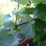 Blühender Wein. Inzwischen eine Kulturpflanze, deren Anbau große Probleme mit dem Naturschutz bringt.