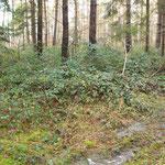 Brombeergestrüpp bietet Deckung und Nahrung für Wildtiere