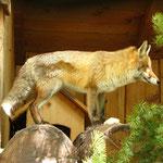 Der schlaue Fuchs! Hier in einem Tierpark.