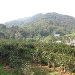 茶畑 お茶の木が嬉しそうにみえました