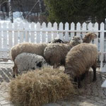Самое живое и настоящее на празднике - овечки