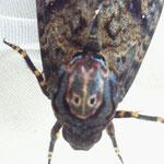 クロメンガタスズメ(チョウ目スズメガ科) Acherontia lachesis