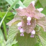 ヒメオドリコソウ(シソ科) Lamium purpureum