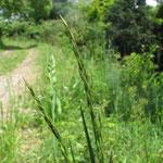 オニウシノケグサ(イネ科) Festuca arundinacea 「ケンタッキー31」という品種名で、牧草や法面緑化に利用するため導入された、ヨーロッパ原産の外来種。