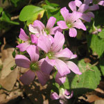 ムラサキカタバミ(カタバミ科) Oxalis corymbosa