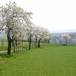 Kirschbaumblüte auf dem Winzerweg in Maxen. Foto: © J. Tronicke
